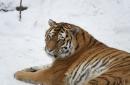 Monday Siberian Tigers