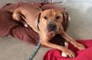 Adoptable pet: Trevor is a big lug who will love you