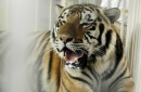 LSU, Auburn, Missouri and Clemson want to save, not hold those tigers