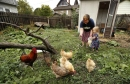 Backyard chicken trend causes spike in infections, 1 fatal