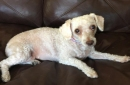 Sweet poodle Pebbles just lost her owner; could you be her new person?