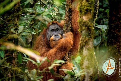 Pongo tapanuliensis: A new species of great ape