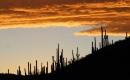 Saguaros Sunset