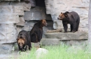 Michigan zoo combines 3 bear habitats, doubling space