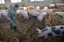 China lucha contra brote de peste porcina africana