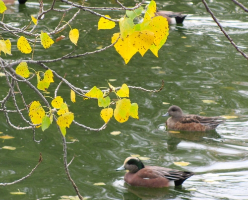Ducks and autumn leaves