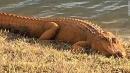 These orange alligators are raising eyebrows in South Carolina