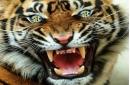 Tiger Eye Review—First Showdown-Saturday Edition